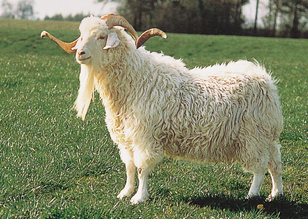 Amazoncom Hansa TruetoLife Cashmere Goat Toys amp Games